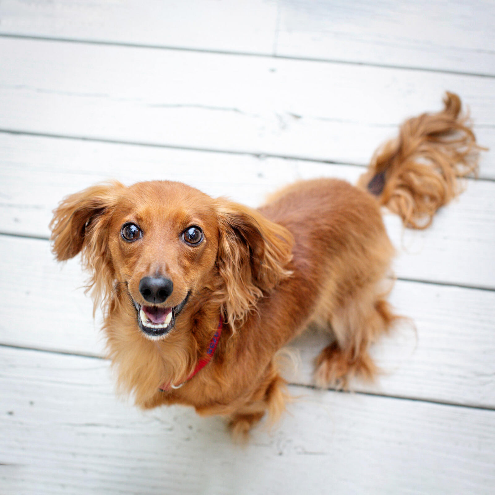 Dachsund pet photography portrait by Irene Gardner in Birmingham, Alabama
